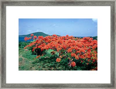 Flamboyan Tree In Bloom Culebra Puerto Rico Framed Print by George Oze