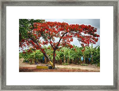 Flamboyan Treee Blooming On A Banana Plantation Framed Print by George Oze