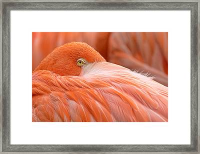 Flamboyant Flamingo Framed Print