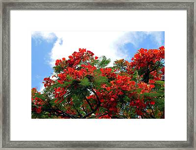 Flamboyant Red Flowering Tree Framed Print by Lorrie Morrison
