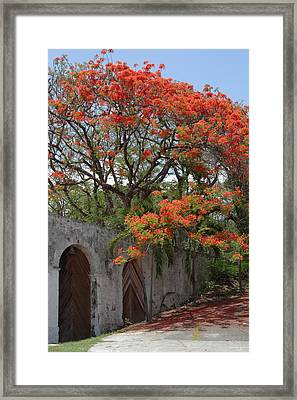 Flamboyant Tree In Dominica Framed Print by Tropical Ties Dominica