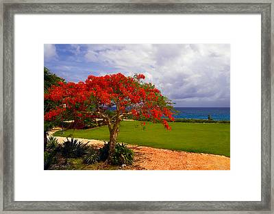 Flamboyant Tree In Grand Cayman Framed Print by Marie Hicks
