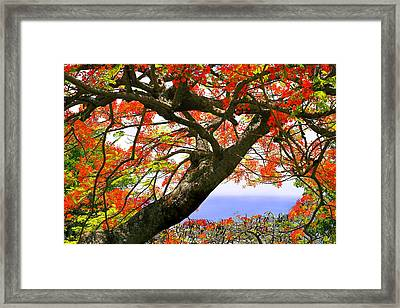 Flamboyant Trees- St Lucia Framed Print