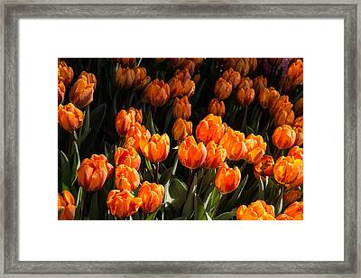 Flame Colored Tulips - Enjoying The Beauty Of Spring Framed Print