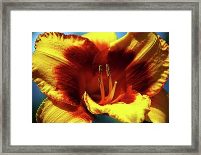 Flame Daylily 1238 H_2 Framed Print