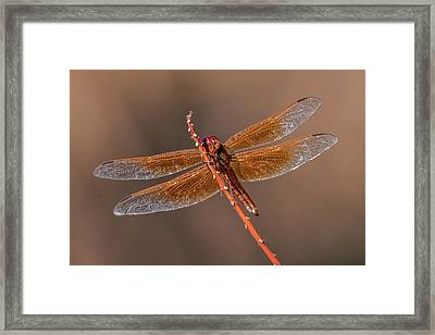 Framed Print featuring the photograph Flame Skimmer Close Up by Dan McManus