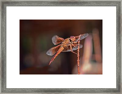 Framed Print featuring the photograph Flame Skimmer by Dan McManus