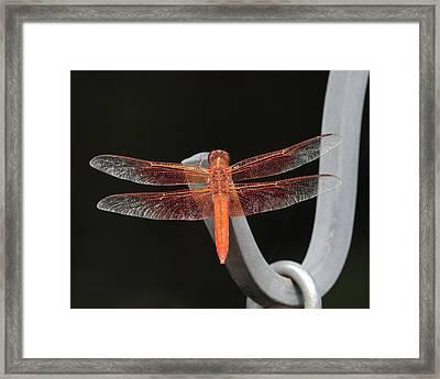 Flame Skimmer Framed Print