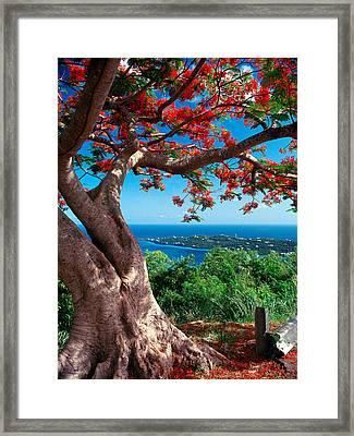 Flame Tree St Thomas Framed Print