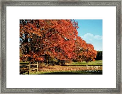 Flame Trees Framed Print by Lois Bryan