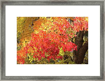 Flaming Autumn 3 Leaves Art Framed Print by Reid Callaway