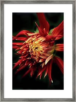 Flaming Dahlia  Framed Print by Jessica Jenney