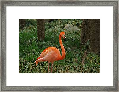 Flamingo 1 Framed Print by Robyn Stacey