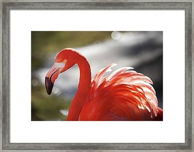 Framed Print featuring the photograph Flamingo 2 by Marie Leslie