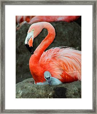 Flamingo And Baby Framed Print