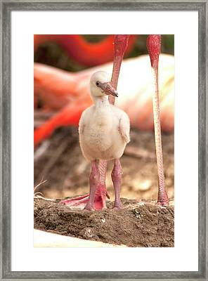 Flamingo Chick Framed Print by Sharon West