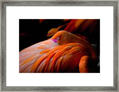 Flamingo Framed Print by Craig Perry-Ollila