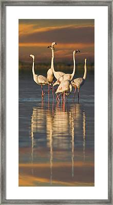 Flamingo Dance Framed Print by Basie Van Zyl