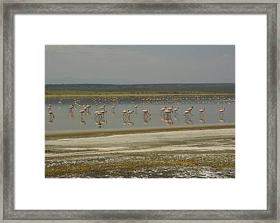 Flamingos Magadi Hot Springs Kenya Framed Print