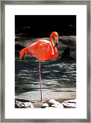 Flamingo Framed Print by Martin Nunez