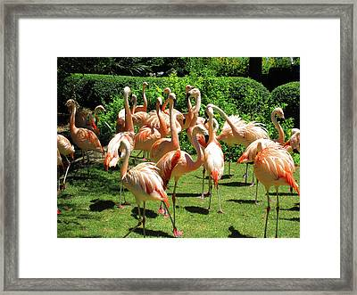 Framed Print featuring the photograph Flamingo Party by Tammy Sutherland