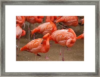 Flamingo Party Framed Print by Teresa Blanton