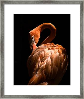 Flamingo Framed Print by Patrick  Flynn
