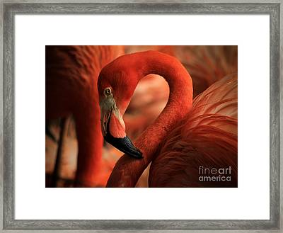 Flamingo Poised Framed Print by Toma Caul