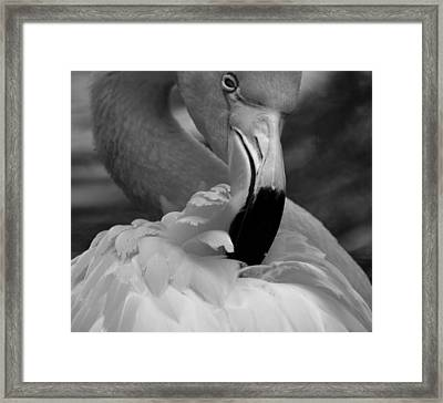 Flamingo Preening 2 Framed Print by Janal Koenig