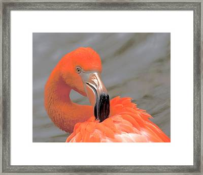 Flamingo Preening  Framed Print by Janal Koenig