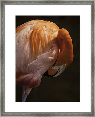 Flamingo Preening Framed Print