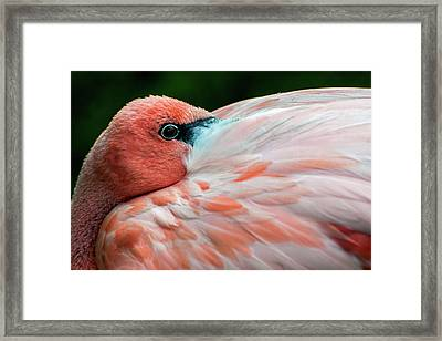 Flamingo Resting With Eyes Wide Open Framed Print by Mark Preston