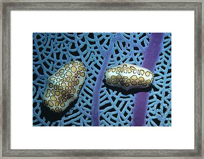 Flamingo Tongue Shells On Sea Fan Framed Print