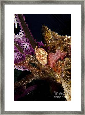 Flamingo Tongue Snail On Coral, Key Framed Print