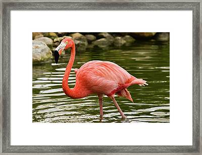 Flamingo Wades Framed Print