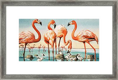Flamingoes Framed Print by English School