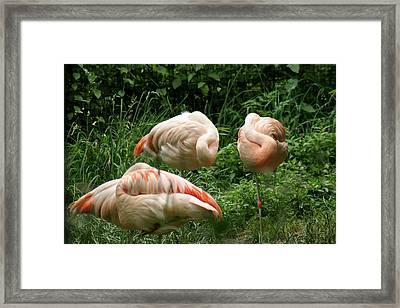 Flamingo's At Rest Framed Print by ShadowWalker RavenEyes Dibler