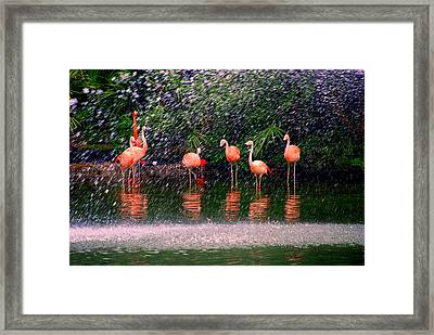 Flamingos II Framed Print