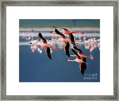 Flamingos In Flight-signed Framed Print