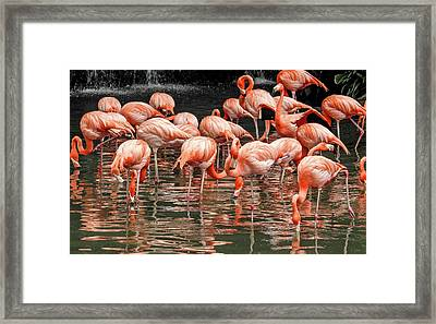 Framed Print featuring the photograph Flamingo Looking For Food by Pradeep Raja Prints