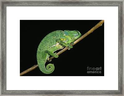 Flap-necked Chameleon Chamaeleo Dilepis Framed Print