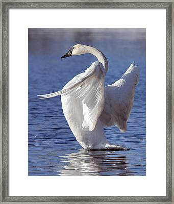 Flapping Swan Framed Print