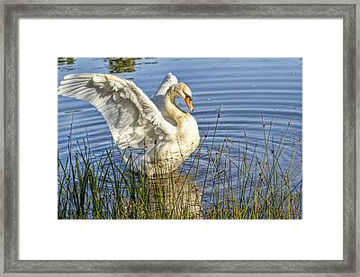 Flapping Wings Mute Swan Framed Print by Geraldine Scull