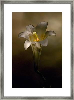 Flashlight Series Easter Lily 7 Framed Print