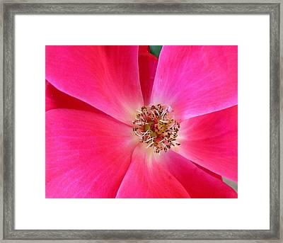 Flat Rose Hot Framed Print by Florene Welebny