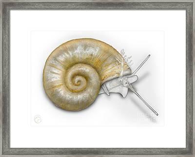Flat Valve Shell Valvata Cristata - Platte Pluimdrager - Flache  Framed Print
