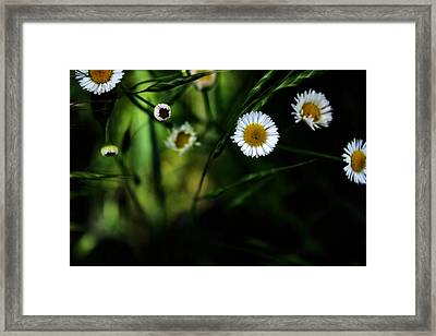 Flea Bane Framed Print by Gulf Island Photography and Images