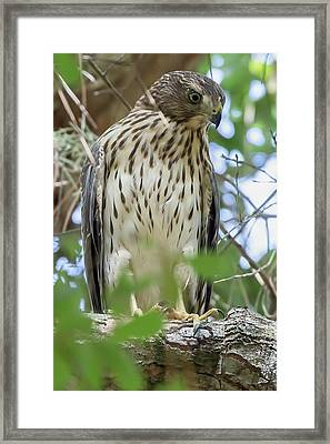 Fledgling Red-shouldered Hawk 2 Framed Print