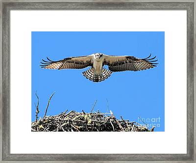 Framed Print featuring the photograph Flegeling Osprey by Debbie Stahre