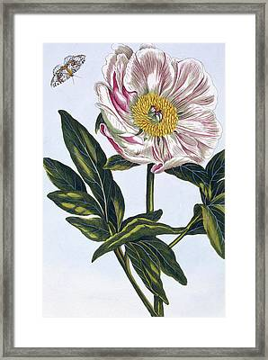Flesh Colored Common Peony Framed Print by Pierre-Joseph Buchoz